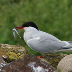 Noordse stern (Sterna paradisaea) - Farne Islands, UK