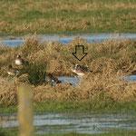 Amerikaanse smient (Anas americana) - Handzame, België