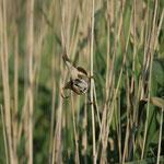Kleine karekiet (Acrocephalus scirpaceus) - Domein Raversijde België