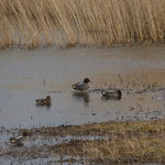 Wintertaling (Anas crecca) - Raversijde België