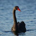Zwarte zwaan (Cygnus atratus) - Sahara Lommel België