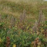 Bokkenorchis (Himantoglossum hircinum) - Raversijde België