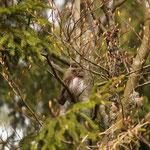 Dwerguil (Glaucidium passerinum) - Pygmy owl - Hoge Venen België