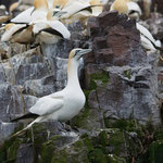 Jan-van-gent (Morus bassanus) - Bass rock, Scotland