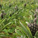 Ananasplantage in Ponta Delgada. De Azoren zijn het enige Europese gebied waar Ananas wordt geteeld. Uiteraard in kas.