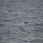 Jomfruland: Eider & Zwarte zee-eend