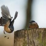 Boomklever (Sitta europaea) - Platwijers België