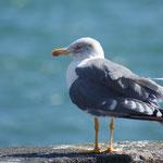Atlantische Geelpootmeeuw (Larus michahellis atlantis)