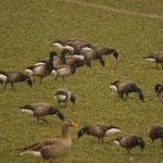 Witbuikrotgans (Branta hrota) - Zeeland, Nederland