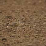 Morinelplevier (Charadrius morinellus) - Lincent, Luik, België