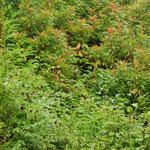 Azorengoudvink (Pyrrhula murina) - slechts 400 koppels over - Azoren Portugal