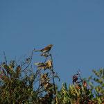 Grauwe klauwier (Lanius collurio)
