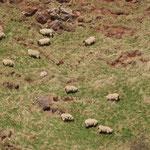 Schotse schapen op St-Abbs Head