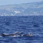 Groep tuimelaars /Common bottlenose dolphin (Tursiops truncatus). In totaal circa 20 dieren.