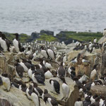 Zeekoet (Uria aalge) - Farne Islands, UK
