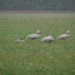 Indische gans (Anser indicus) - Kuringen België