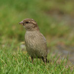 Huismus (Passer domesticus) - Holy Island, UK