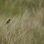Rietgors (Emberiza schoeniclus) - Holy Island, UK