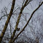Kleine bonte specht (Dendrocopos minor) - Platwijers België