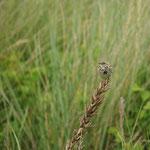 Graspieper (Anthus pratensis) - Ijzermonding België