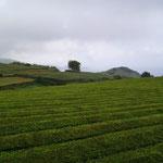 Eén van de theeplantages op het eiland. De Azoren herbergen de enige theeplantages van Europa.