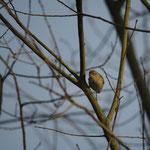 Tjiftjaf (Phylloscopus collybita) - Platwijers België