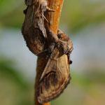 Kameeltje (Notodonta ziczac) - op lichtval Raversijde België