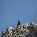 Blauwe rotslijster man (Monticola solitarius)