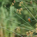 Ijsvogel (Alcedo atthis) - Platwijers België