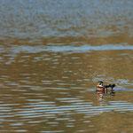 Carolina eend (Aix sponsa) - Platwijers België