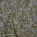 Pallas' boszanger (Phylloscopus proregulus) - Pallas leaf warbler - Genk België