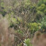 Kanarie (Serinus canaria)