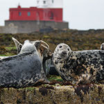 Grijze zeehond (Halichoerus grypus) - Farne Islands, UK
