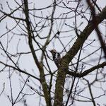 Middelste bonte specht (Dendrocopus medius) - Platwijers België