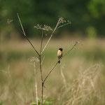 Roodborsttapuit (Saxicola rubicola) - Domein Kiewit België