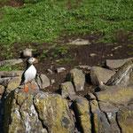 Papegaaiduiker (Fratercula arctica) - Isle of May, Scotland