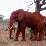 Rote Elefanten im Tsavo