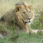 Simba im Amboseli