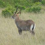 Topi Antilope