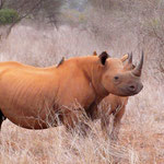 Rhinozerus