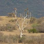 Schlafbaum im Tsavo
