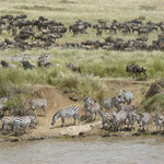 Migration in Massai Mara