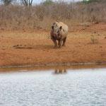 Nashorn im Tsavo
