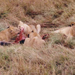 Lionmeal in Massai Mara