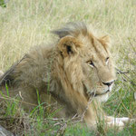 Lion in Massai Mara