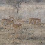 Antilopen im Tsavo