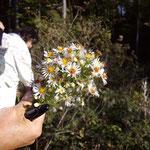 Bis in den Herbst hinein erfreuen uns die Blüten des Berufkrauts.