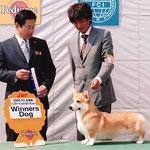 2008 FCI 北関東 インターナショナルドッグショー WINNERS DOG