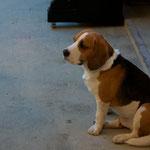 Der Kino-Beagle