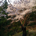光を浴びると桜の花はいっきに華やぎます